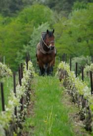 Cavalli fra i vigneti